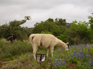 Pet in the Hill Country